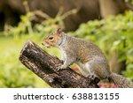 grey squirrel balancing on a...   Shutterstock . vector #638813155