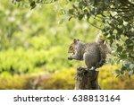 Grey Squirrel Balancing On A...