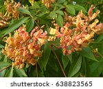 Small photo of Blooming horse chestnut red (Aesculus pavia)