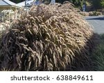 Small photo of Plumes of delicate purple feather grass Pennisetum advena rubrum - Purple Fountain Grass blowing in the wind create popular landscaping features in public gardens.