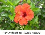 hibiscus in okinawa | Shutterstock . vector #638878009