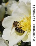 european honey bee apis