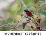 van hasselt's sunbird at thale...   Shutterstock . vector #638938459