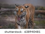 Small photo of Tiger roar