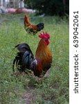 Black Chicken In Green Grass...