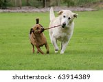 Stock photo labrador and a terrier walking along pulling on their rope toy 63914389