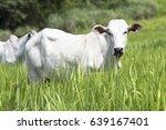 herd of nelore cattle grazing...   Shutterstock . vector #639167401
