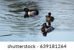 Ring Necked Duck Mating Pairs...