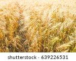 a barley corn field in germany... | Shutterstock . vector #639226531