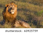 Large Lion Male Overlooks A...