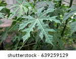 Chaya Tree In Home Garden