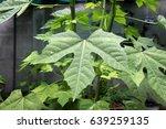 Chaya Leaf In Home Garden