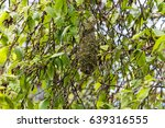 Small photo of American bushtit nest at vancouver bc canada