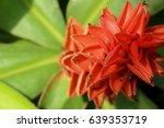 costus speciosus in garden
