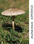 Parasol Mushroom   Macrolepiot...