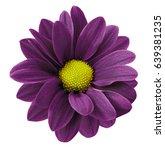 Dark Purple Gerbera Flower. ...