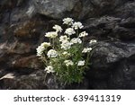Small photo of spring flowers. Mountain plants. Straight scissors (Noccaea cochleariformis)