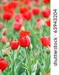 field of tulips | Shutterstock . vector #63943204
