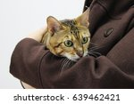 a sick breed cat toyger in the... | Shutterstock . vector #639462421