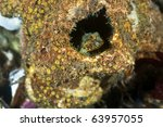 Small photo of A tiny colorful sculpin peeks out from it's den that was once a acorn barnacle.