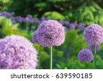 beautiful purple allium flower... | Shutterstock . vector #639590185