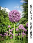 beautiful purple allium flower... | Shutterstock . vector #639590305