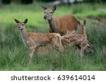 Red Deer With More Calf  Summer ...