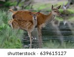 Red deer with calf on the water, summer, (cervus elaphus), germany