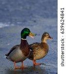 Small photo of Mallard pair quack on ice, (anas platyrhynchos), germany