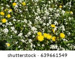 Small photo of Yellow dandelion, White alpine Rockcress