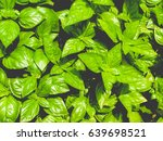 basil  ocimum basilicum  aka... | Shutterstock . vector #639698521