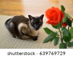 a siamese cat next to a red rose | Shutterstock . vector #639769729
