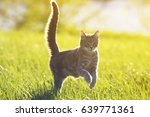 Stock photo sweet tabby cat fun running on green meadow in sunny summer day 639771361