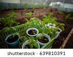 tomato seedlings in the... | Shutterstock . vector #639810391