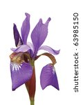 Purple Siberian Iris  Iris...