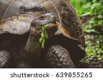 Giant Tortoise  Tortuga  On Th...
