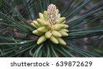 pine buds | Shutterstock . vector #639872629