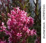 Small photo of Elegant gaura species of Australian Butterfly Bush with pink flowers in bloom in late auttumn adds charm to the cottage garden land scape attracting butterflies and bees.