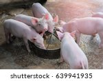 Small Piglet Eat Feed. Group O...