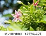 quisqualis indica | Shutterstock . vector #639961105