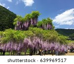 wisteria with blue sky  | Shutterstock . vector #639969517