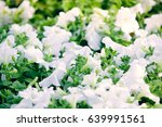 white petunias in the flower... | Shutterstock . vector #639991561