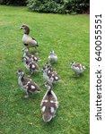 Small photo of Egyptian Geese (alopochen aegyptiacus) with Goslings