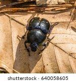 Small photo of Metallic Beetle