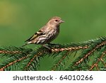 Pine Siskin (Carduelis pinus) perched on a fir tree