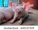 Small Piglet Tongue Show In Th...