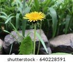 dandelion in nature   Shutterstock . vector #640228591