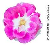 pink rose flower isolated on... | Shutterstock . vector #640262119