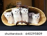 Stock photo lovely silvery british kittens are sitting in a basket 640295809