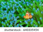 Clown Fish  Amphiprion Ocellaris
